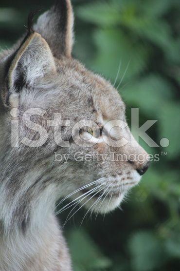 Eurasian Lynx – lizenzfreie Stock-Fotografie