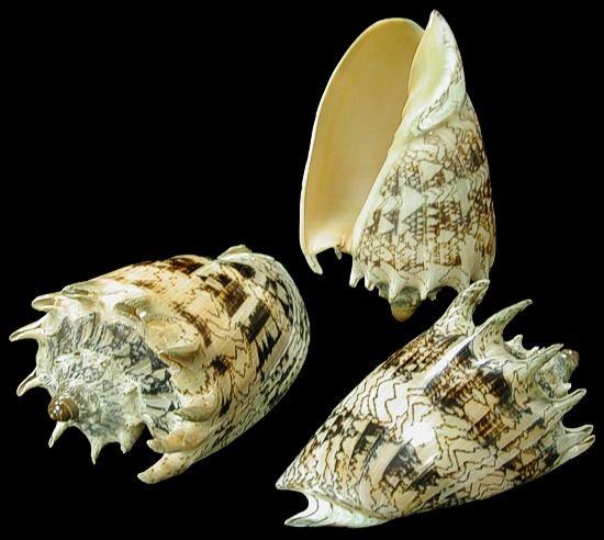 Imperial Volute Sea Shellswww.conchking.com -