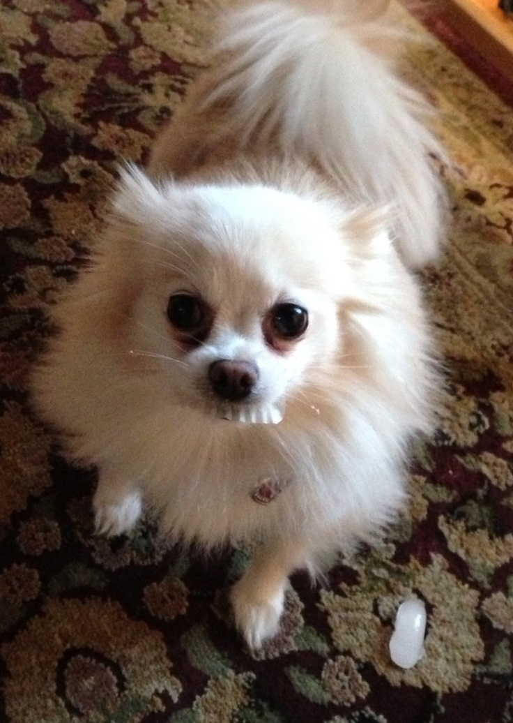pomeranian teeth 17 best images about false teeth on pinterest pineal 1386