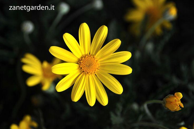 euryops margherita gialla a fioritura primaverile