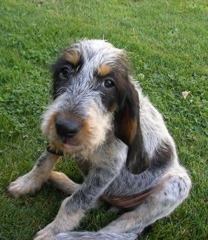 French Griffon Bleu de Gascogne Scenthound Dog