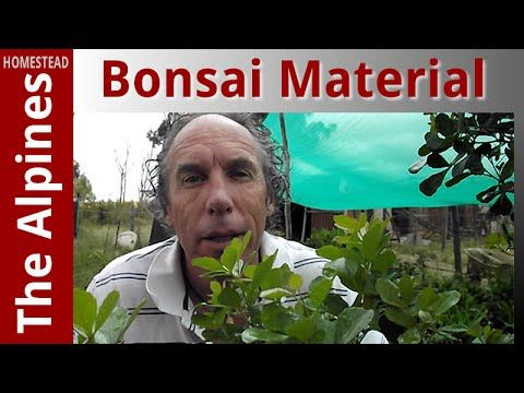 Collected Bonsai Material - Unwanted Trees - The Alpines Homestead