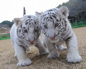 鹿児島市 平川動物公園 — ホワイトタイガーの赤ちゃん一般公開決定(2/10)