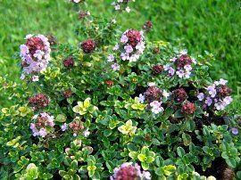 "Hirts: Herb Mosquito Repelling Creeping Lemon Thyme Plant - FANTASTIC! - 3"" Pot : Repellants"