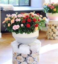 Cultivez un rosier en pot sur un balcon (Fiches conseils)