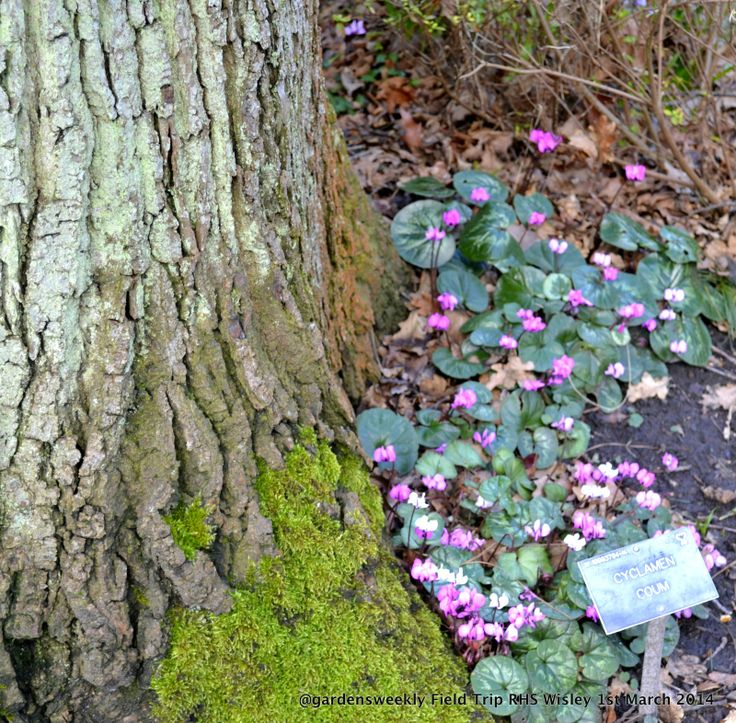 Cyclamens will grow up close and personal to any large tree, the bark, moss and Cyclamen contrast is perfection