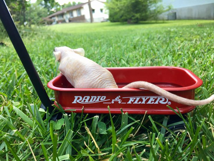 My dwarf rat in a tiny wagon. #aww #cute #rat #cuterats #ratsofpinterest #cuddle #fluffy #animals #pets #bestfriend #ittssofluffy #boopthesnoot