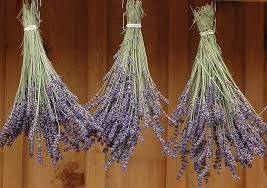 Image result for gardening how to grow lavender