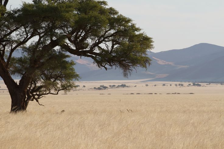 Camel Thorn, Sesriem. Namibia