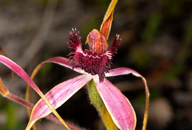 Wildflowers of Western Australia - Australian Geographic..blushing spider orchid