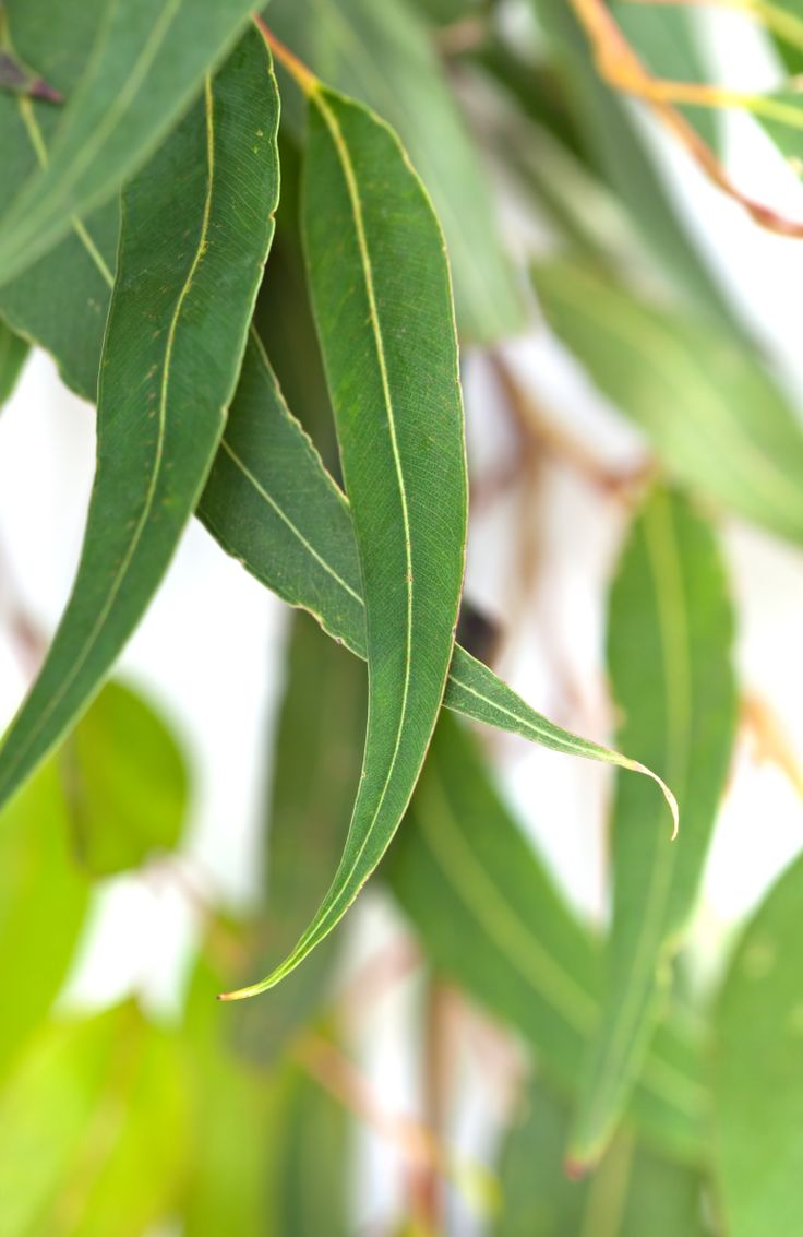 Eucalyptus #Phyto