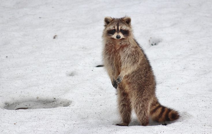 Raccoons Belong in the #Wild- A raccoon in the #wild can be very cute, but a raccoon in your backyard is another matter. Raccoons can become territorial and aggressive, so make sure to deal with them before someone gets hurt.