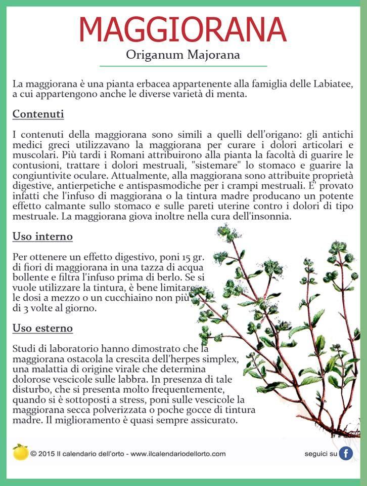 Maggiorana (Origanum Majorana)