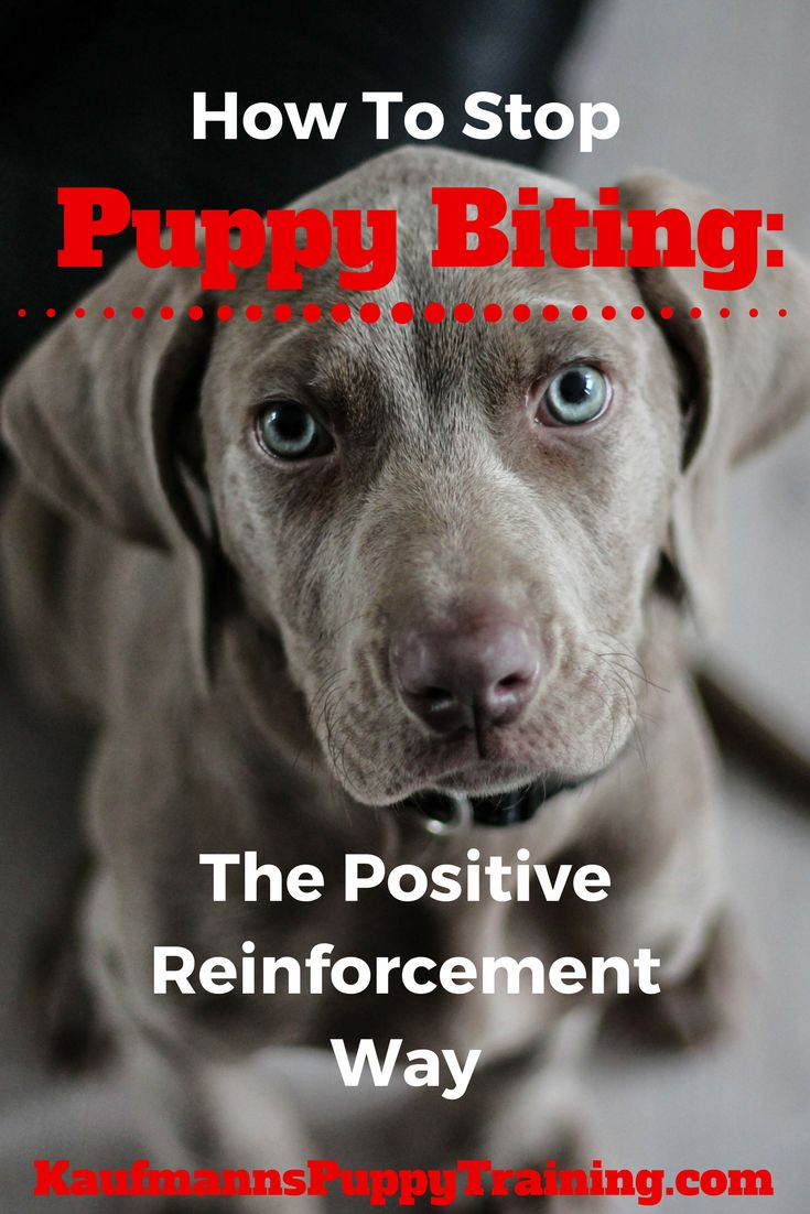Learn how to stop puppy biting easily so that you can enjoy playtime with your puppy and feel confident about having your dog around kids and strangers. How To Stop Puppy Biting: The Positive Reinforcement Way @KaufmannsPuppy