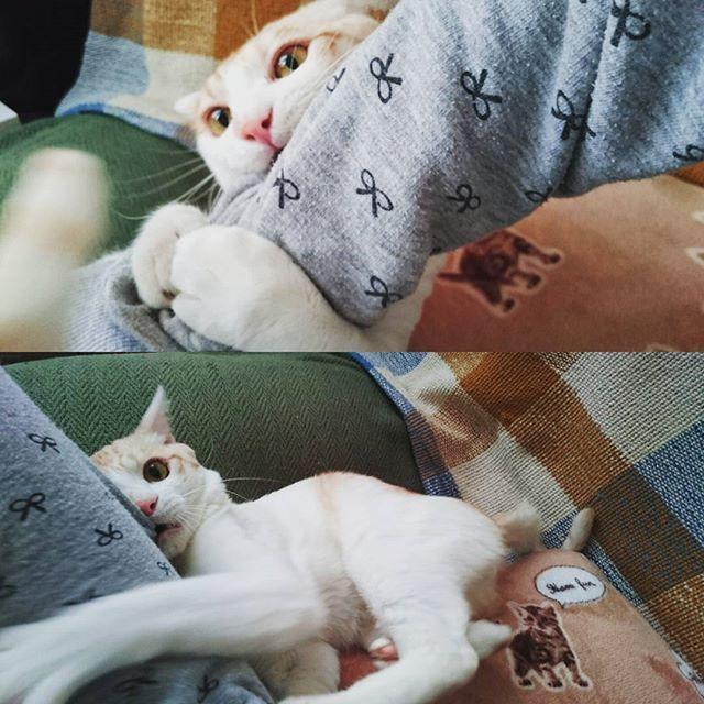 甘えてるわけではなく、私の腕を蹴りぐるみの如く猫キックする、ブランです(´・ω・`) #猫#ネコ#ねこ#にゃんこ#にゃんすたぐらむ #cat#pet#雑種猫#雑種ネコ#雑種ねこ#雑種ねこlove #猫バカ#愛猫#ねこ部#猫love#ねこらぶ