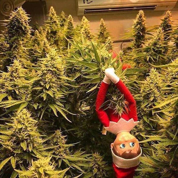 Have a holy jolly Christmas! @massroots #pineapple #express #weedstagram420 #oil #green #bluntlife #cannabis #shatter #thc #cbd #dank #weed #ganja #420 #kush #swag #nofilter #design #reddit #art #blunts #nugs #weedstagram #stoner #ganjaprenuer #maryjane #marijuana #trees #stonernation #cannabiscommunity