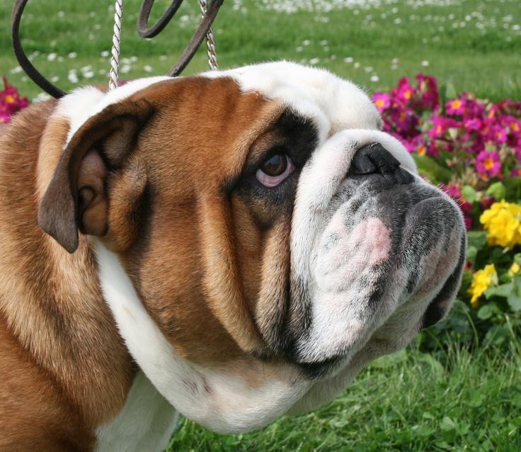 Google Image Result for http://www.loxstarz-bulldogs.co.uk/communities/7/004/006/099/177/images/4539685813.jpg