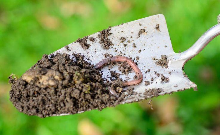 """Maisanbau, Gülledüngung und Herbizide machen dem Regenwurm das Leben schwer. Mehr als die Hälfte der 46 in Deutschland heimischen Arten seien inzwischen selten oder sogar sehr selten, warnt der WWF in seinem aktuellen """"Regenwurm-Manifest""""."""