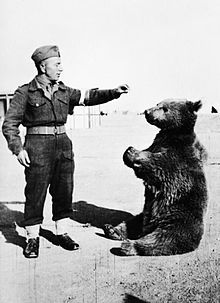Wojtek (soldier bear) In 1942, a local orphan boy found a bear cub near Hamadan, Iran. He sold it to the soldiers of the Polish Army stationed nearby for a couple of canned meat tins. The bear was less than a year old & had problems swallowing. He was fed condensed milk from a vodka bottle. The bear was fed with fruit,marmalade, honey and syrup. He was often rewarded with beer, his favorite drink. He also enjoyed smoking & eating cigarettes, wrestling & was taught to salute when greeted.