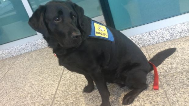 Calgary Police Service trauma dog, Hawk, will be allowed to sit with two child witnesses when they testify at an upcoming sexual assault trial. The request was made by Crown prosecutor Rose Greenwood in a pre-trial application Wednesday and the defence lawyer did not oppose the idea, which will see the 4yr-old black Labrador comfort the children in December. Hawk is used by police to calm people in times of stress and trauma and first joined the force about a year ago.