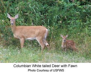 Columbian White-tailed deer Doe and Fawn
