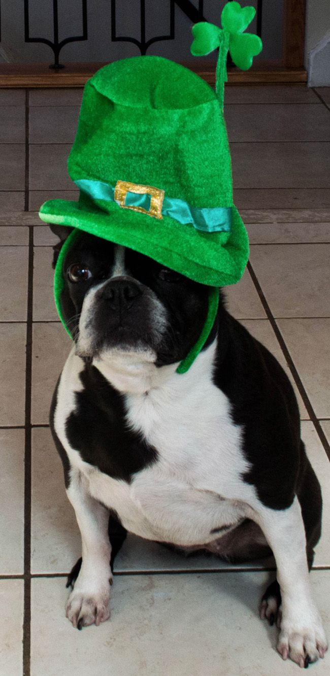 Wish Happy Birthday to Uma Turning 7 Years Old on St Patrick's Day! ► http://www.bterrier.com/?p=28749 - https://www.facebook.com/bterrierdogs