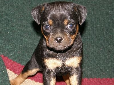 Carlin Pinscher puppy... WANT!