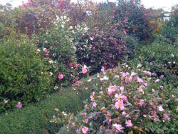 Camélias parfumés d'automne au Plantarium de Gaujacq