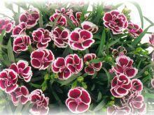 Fábián virágkertészet - Termékeink - Muskátli, begónia, petunia, egynyári, évelő és balkon növények
