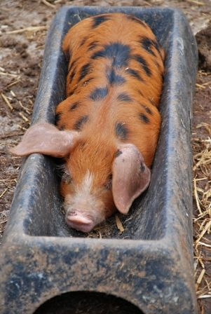 Snoozing in the trough at Cwmcrwth Farm Holiday Cottages