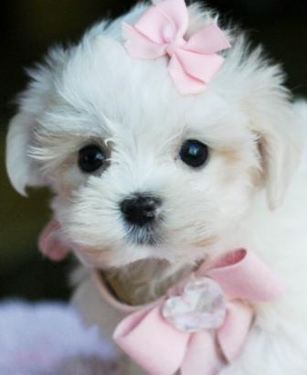 Teacup Little Girl Maltese..OMG..I think Sophie needs a little sister.....lol