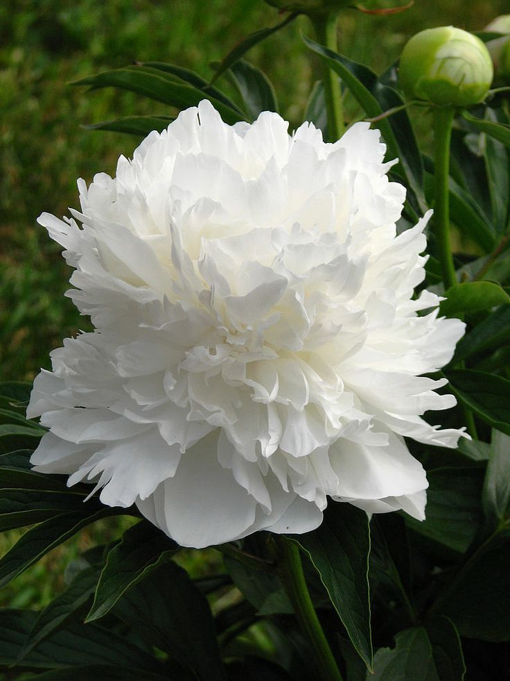 Peony (Paeonia): anger  Variety of colors, scents, single petals, double petals.