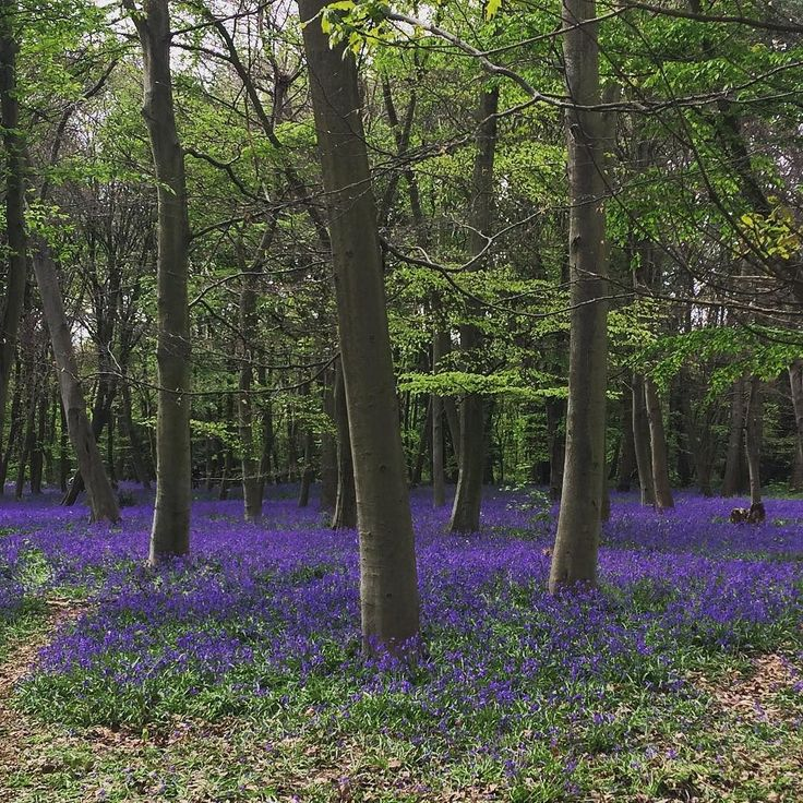 Obligatory #spring #early #bluebells shot hope everyone enjoyed their bank holiday!