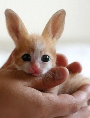 Okay, I saw this and said hey, what kind of kitten is this with the big ears and where can I get one?  Then I realized that this is a baby Fennec Fox.  Still...he is a cutiepatootie!