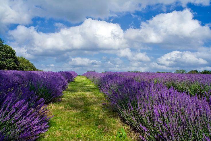 an organic lavendar field i bet it smells lovely lavender love pinterest fleur. Black Bedroom Furniture Sets. Home Design Ideas
