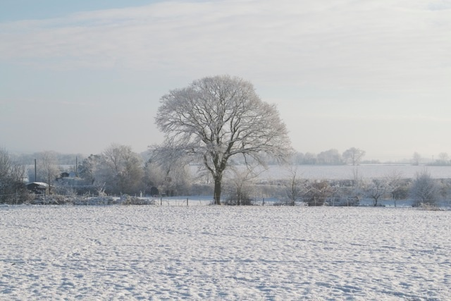 Frost covered tree.