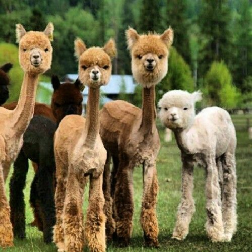 Best Shaved Alpaca Ideas On Pinterest Bookers Jobs Smiling - 22 hilarious alpaca hairstyles