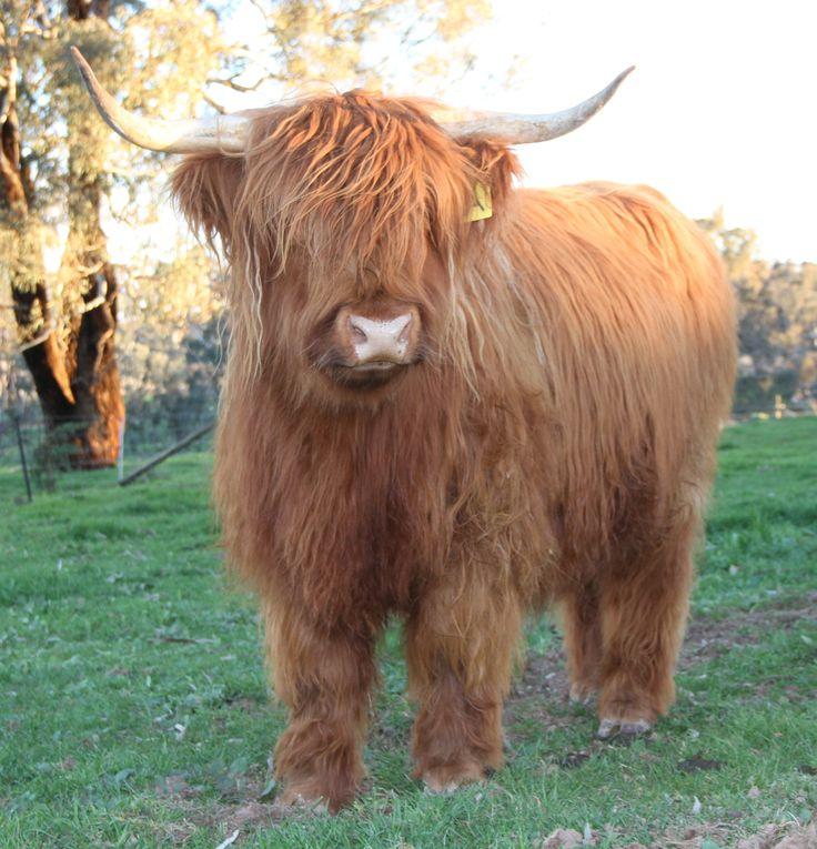 Beautiful Highland Cattle at www.ennerdalehighlands.com