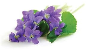 Official flower of New Brunswick, Canada - the purple violet
