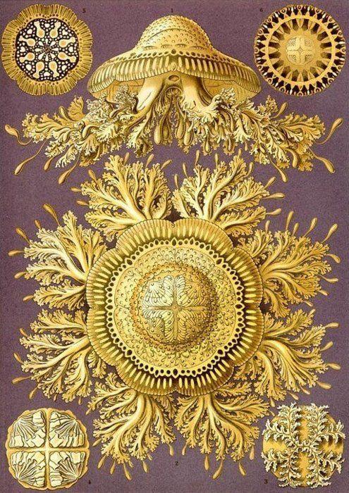 Discomedusae by Ernst Haeckel
