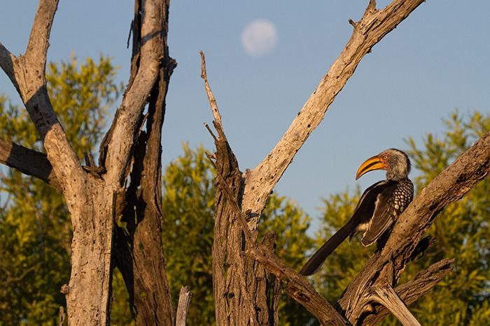 The stark yellow of the Southern yellow-billed hornbill is magnified by the sun whilst the moon shines in the background. Photograph by Callum Gowar