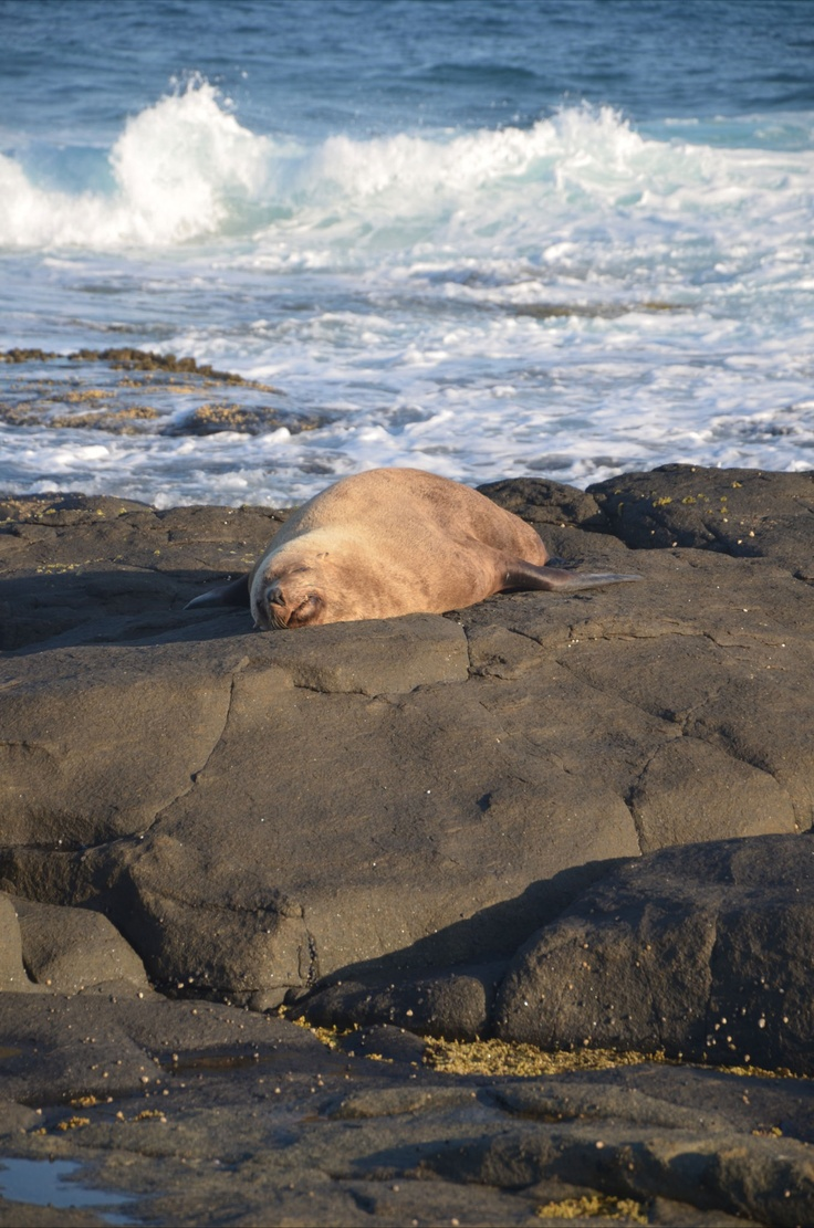 Seal resting at Gannet Beach, Bawley Point NSW