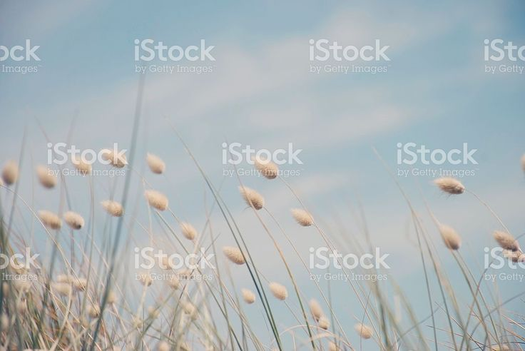 Dreamy Summer Cotton Tail Grass background royalty-free stock photo
