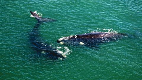 Enjoy Whale watching in Mossel Bay.