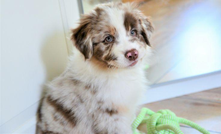 Berger australien, australian shipperd, dog, puppy, rouge merle, blue eyes, chiot