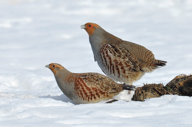 Grey partridges