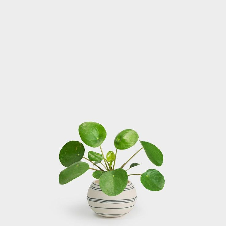 Pilea Peperomioides | 3″ – Plant Palace