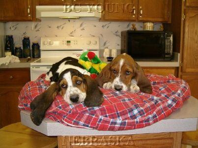 602 best Bassets images on Pinterest | Basset hound ...
