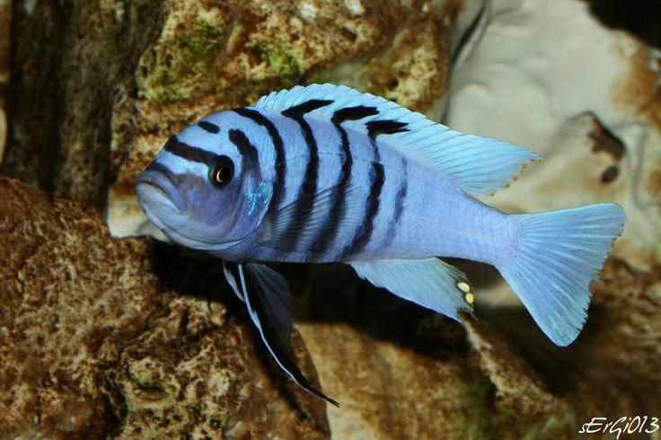 Cynotilapia Sp Hara Gallireya Reef Cichlid Fish