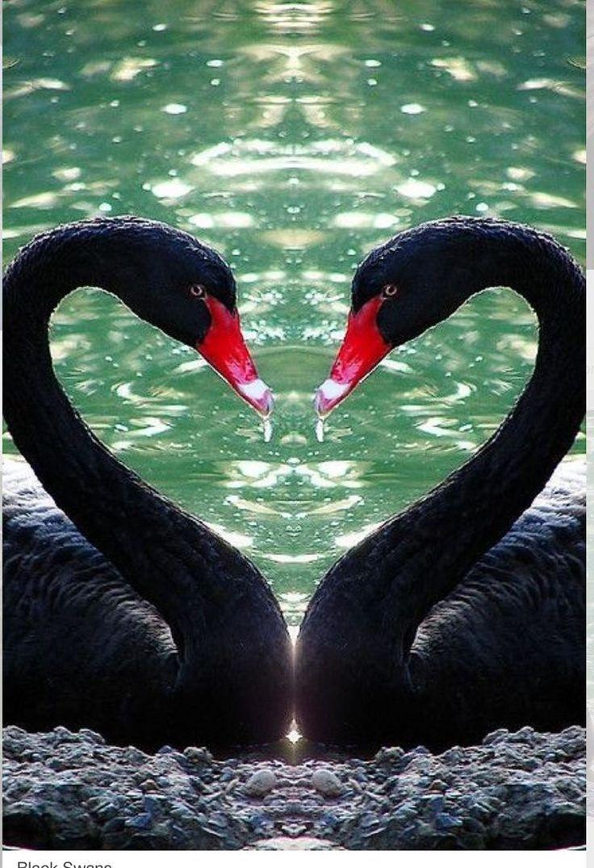 черные лебеди фото красивые бумажной трухи